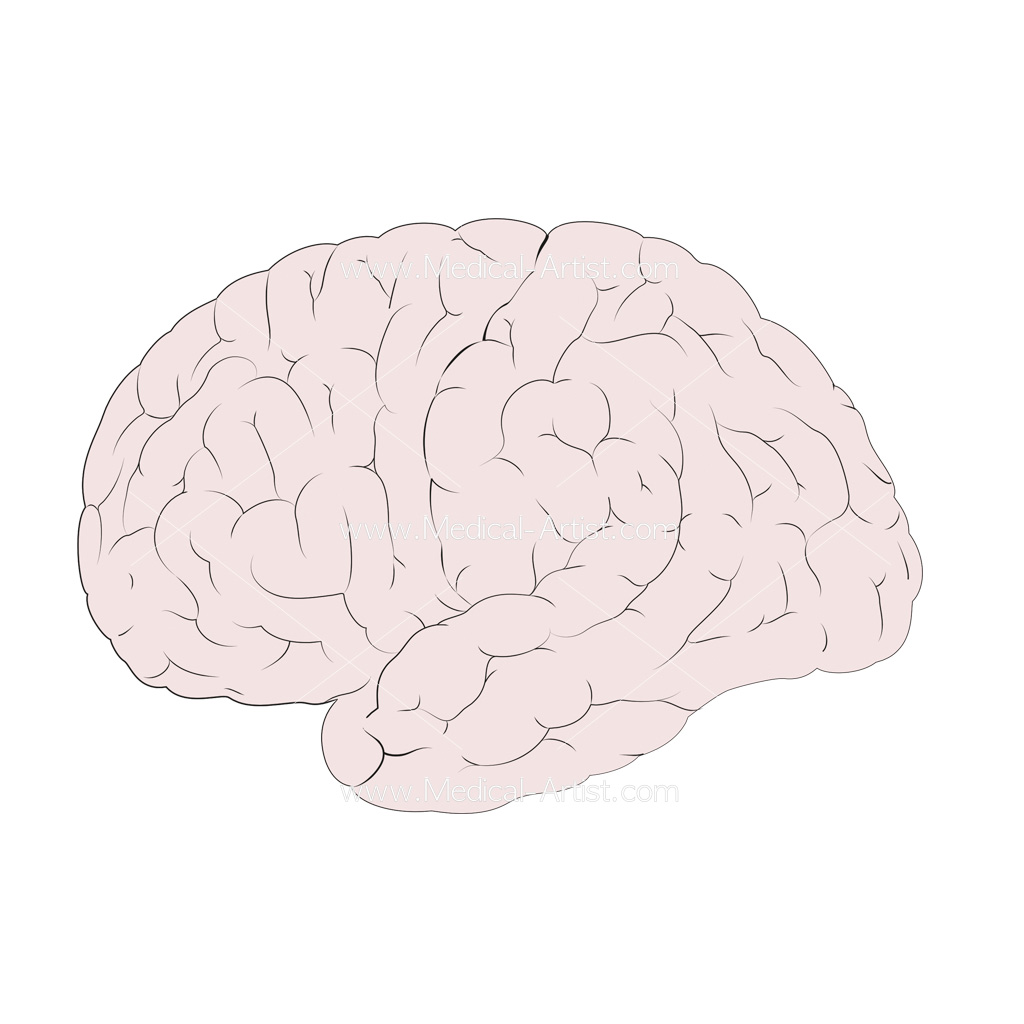 Brain lateral view