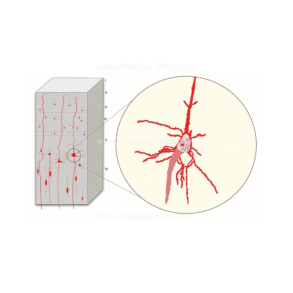 Brain primary motor cortex illustration