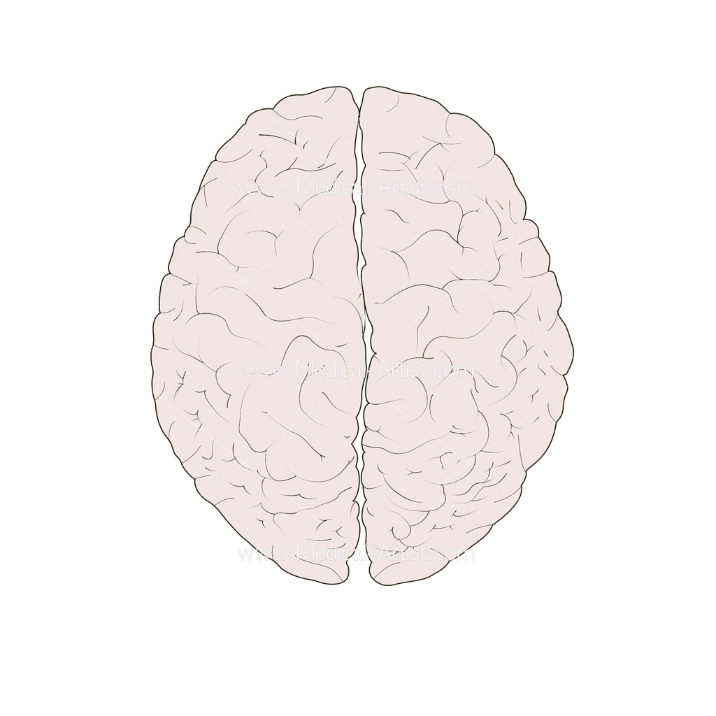 Brain superior view