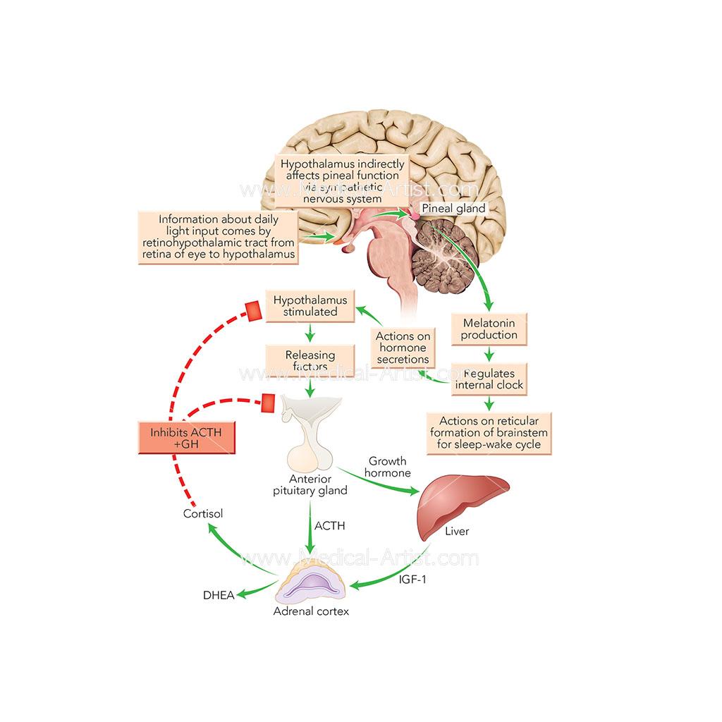 Illustration of pineal gland and melatonin