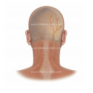 Posterior view of greater and lesser occipital nerve