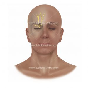Supratrochlear and supraorbital nerve