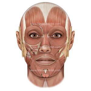 Superficial-Muscle-Dissection-Head